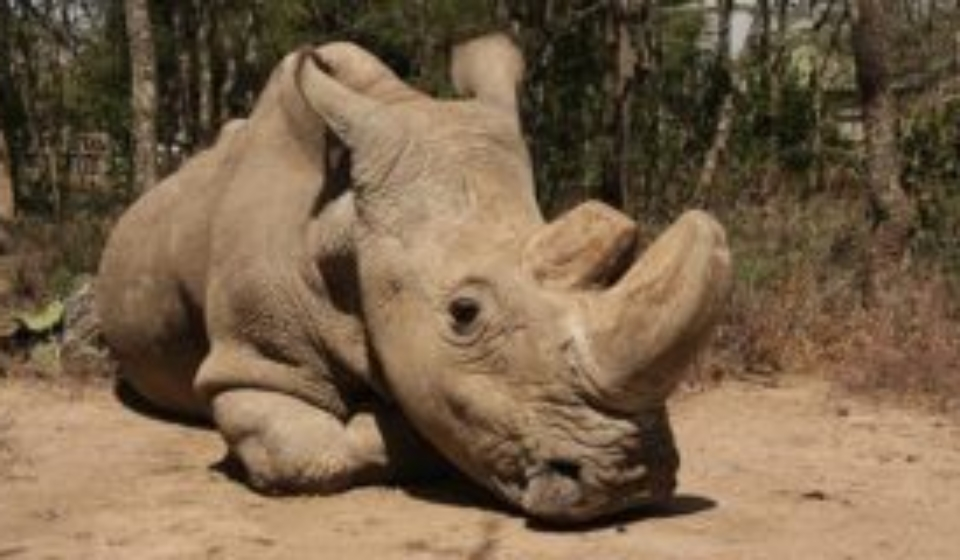 Sad News: The world's last male northern white rhino dies at the age of 45